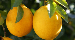 All your citrus questions answered