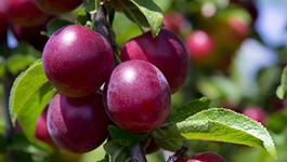 Plum Growing Guide