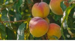Peach Growing Guide
