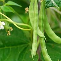 Bean Growing Guide