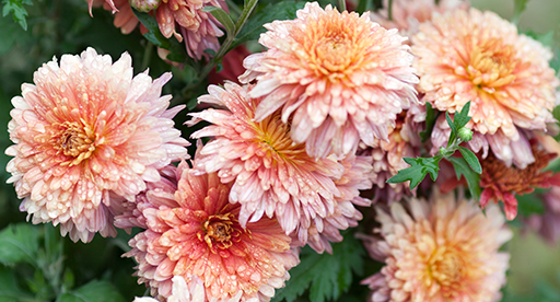 Chrysanthemum Growing Guide Tui Prepare Plant Nourish