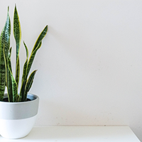 Sansevieria Growing Guide