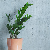 Zamioculcas Growing Guide