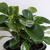 Peperomia Jade Growing Guide