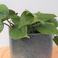 Philodendron Scandens Growing Guide