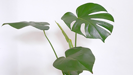 Monstera Growing Guide