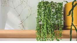 String of Pearls Growing Guide