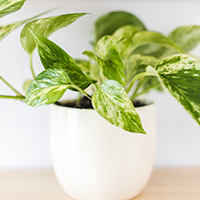 Marble Queen Pothos Growing Guide