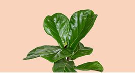 Fiddle Leaf Fig Growing Guide